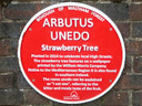 Arbutus Unedo Strawberry Tree (id=3004)